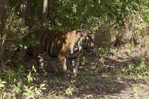 bamera maile tiger