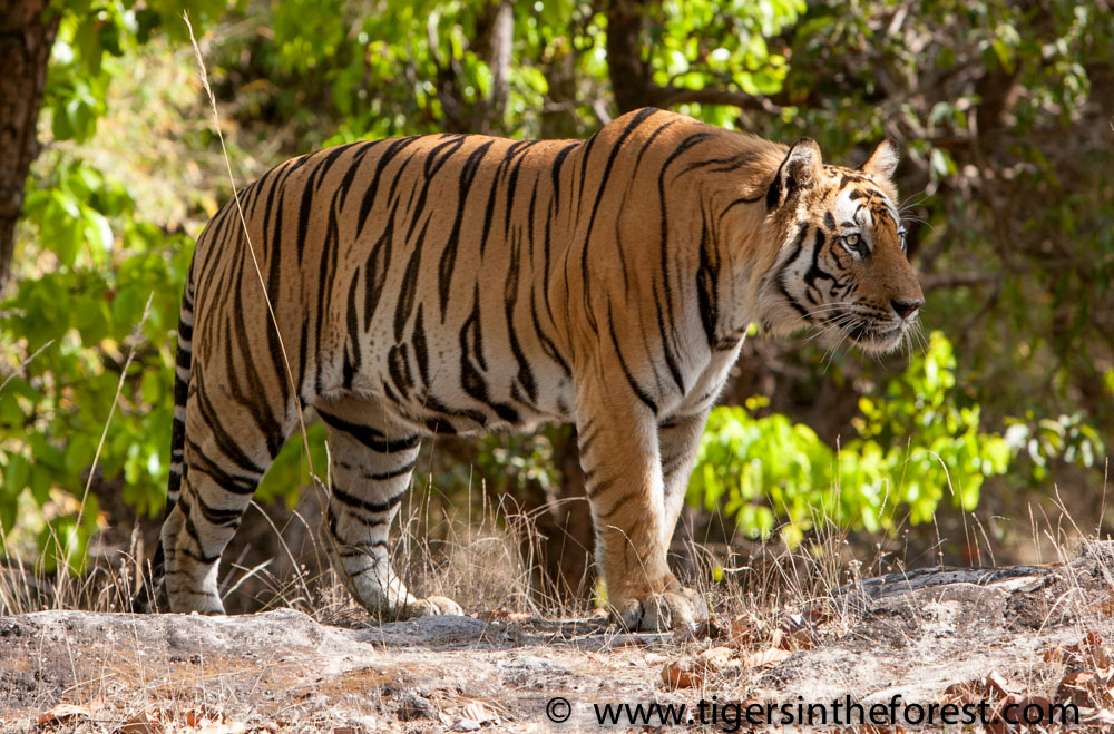 essay on protection of tigers In 2011, panthera and save the tiger fund joined forces to carry out the most effective conservation activities possible to save the future of wild tigers this partnership combin.