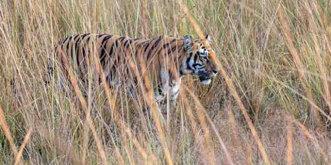Tigers at risk over vast roadwork planned across Asia