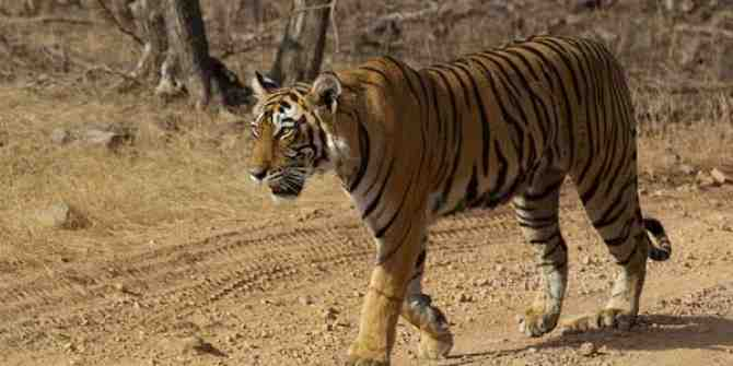 Concern for tigers from canine distemper