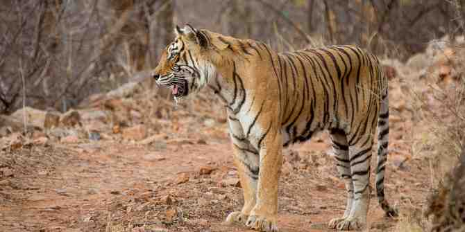 Worrying news from Ranthambhore as 'Machali' goes missing