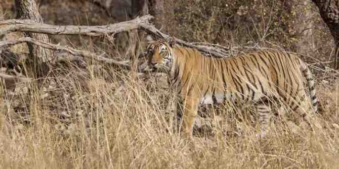 The tiger that walked 510km to find a new home