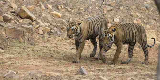 State Government of MP suspends relocating more tigers to Odisha