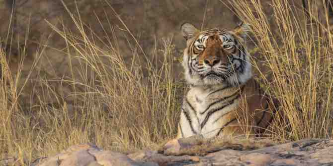 Machali an obituary for a tigress that reigned Ranthambhore