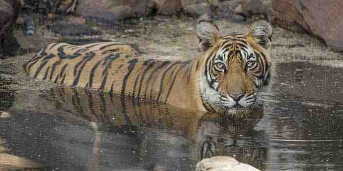 Overspill of tigers into Kailadevi points to overpopulation at Ranthambhore