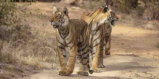 Very encouraging news on the increase in tiger numbers in Nepal