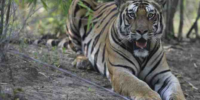 More news on the increase of tiger numbers in India