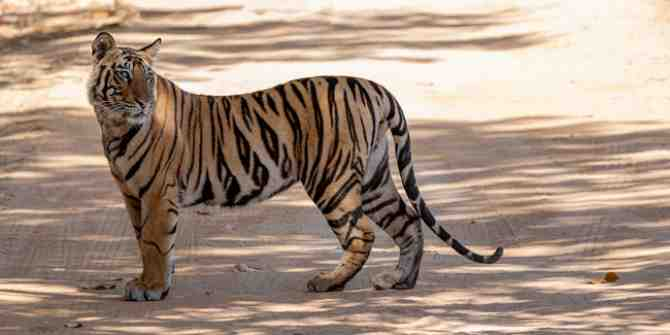 India recorded over 100 tiger deaths last year