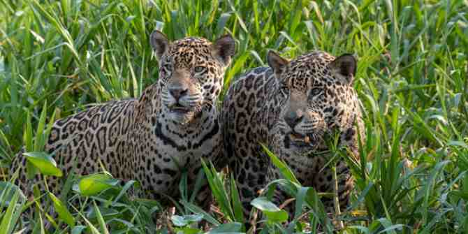 Jaguars following tigers for use in Chinese medicine
