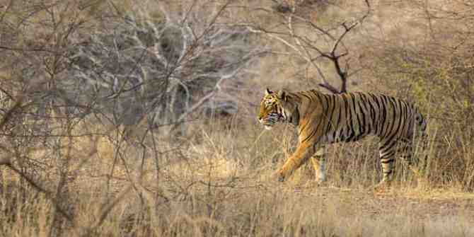 Tiger corridors remain essential for the big cat to survive.