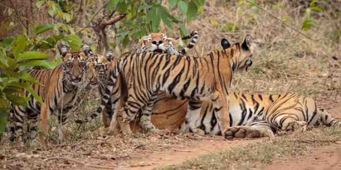 Two small male tiger cubs were rescued at Mudumalai tiger Reserve