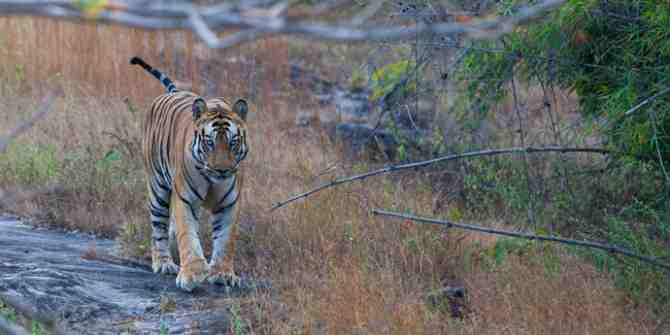 Tigress and her 2 cubs found dead near Chimur