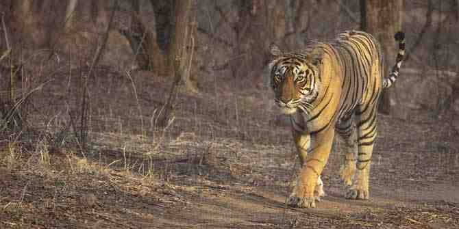 Tigress returns to its forest home after straying into a tourist resort.
