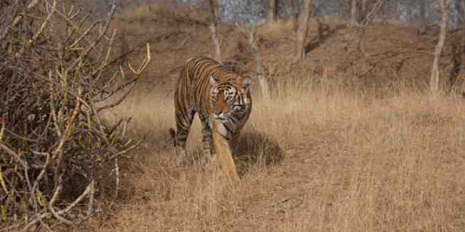 A fascinating and encouraging story on tigers living at high altitudes in India