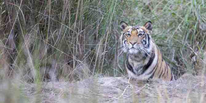 Sadly Malayan tigers are close to extinction
