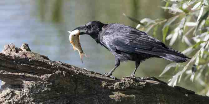 An amazing catch by a remarkable 'fishing crow'