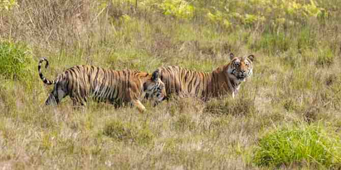 New underpasses needed to stop tigers being killed