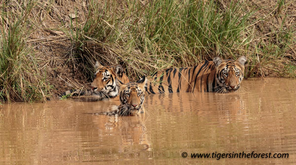 Good news for tigers with 11 cubs seen in 1 week