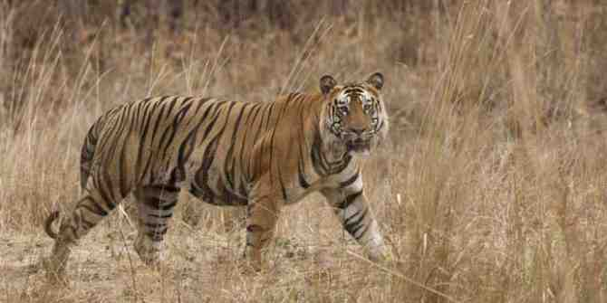 First tiger to arrive at Mukundra