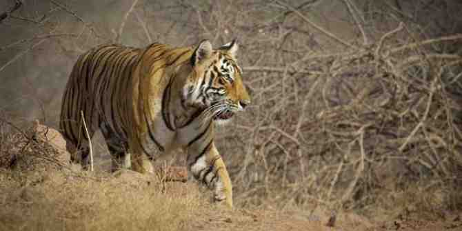 Philbhit tigers living in sugar cane fields may be relocated