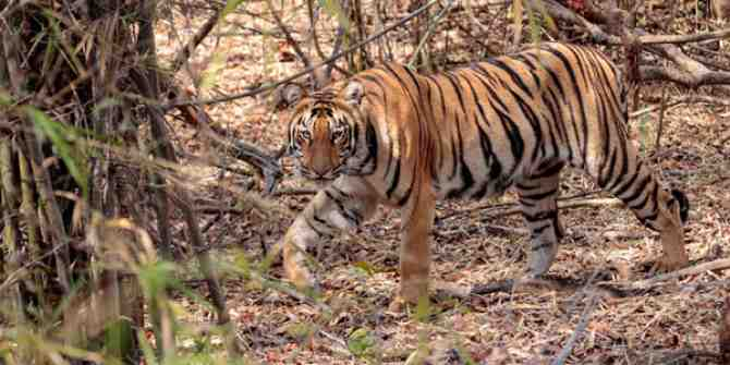 Tiger dies after eating feral cattle.