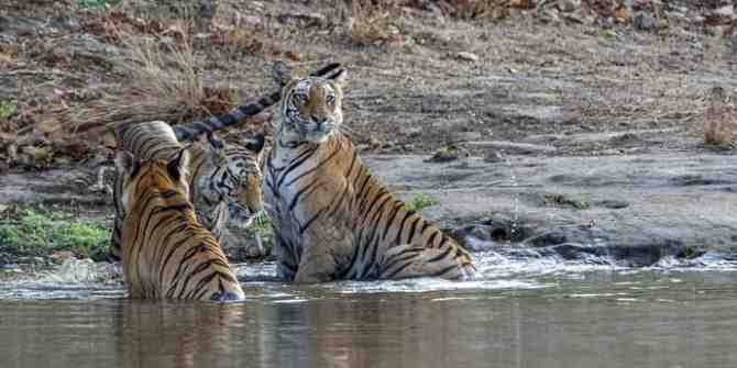 Efforts to save wild tigers must be redoubled