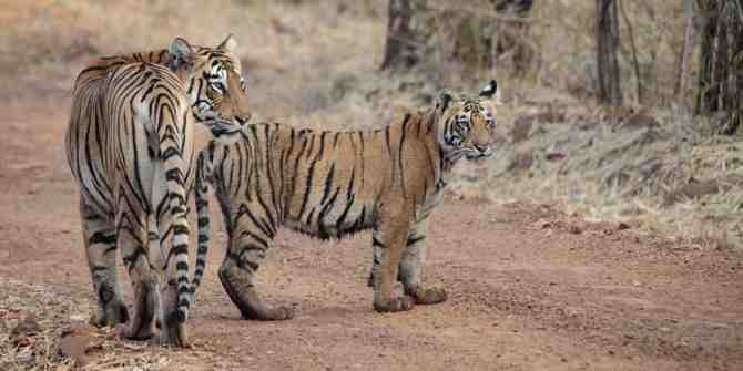 Sadly more tiger deaths reported in the State of Madhya Pradesh