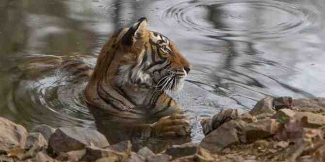 Almost 1,000 people take part in Karnataka's tiger census