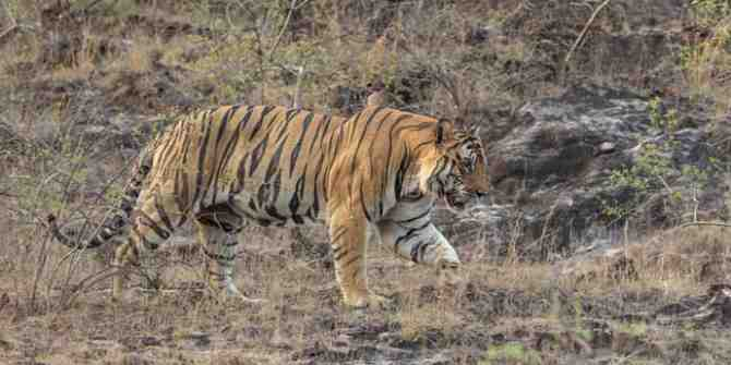 Serious concern expressed over the safely of tigers in MP.