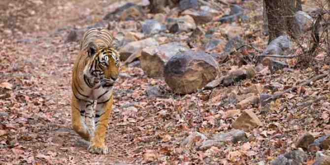 Longest recorded walk of young male tiger