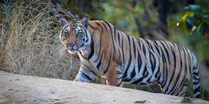 A second tiger death at Rajasthan's Mukundra Tiger Reserve
