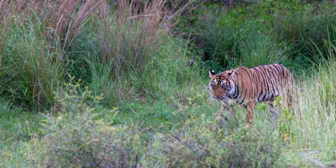 Another problem tiger in Maharashtra faces capture.