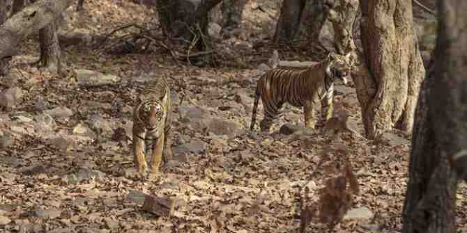 Maharashtra prepares to kill tigress Avni