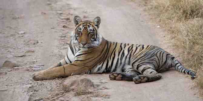 The terrible truth behind tiger farming in south east Asia