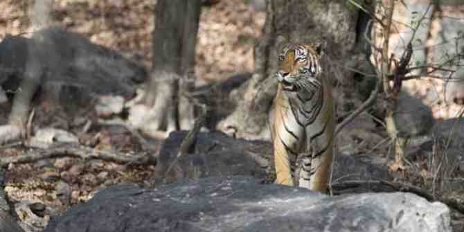 Bandhavgarh tigress released into the wild