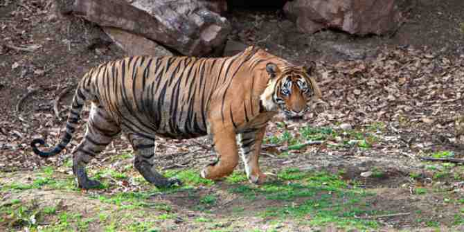 First tiger to be relocated from Corbett to Rajaji