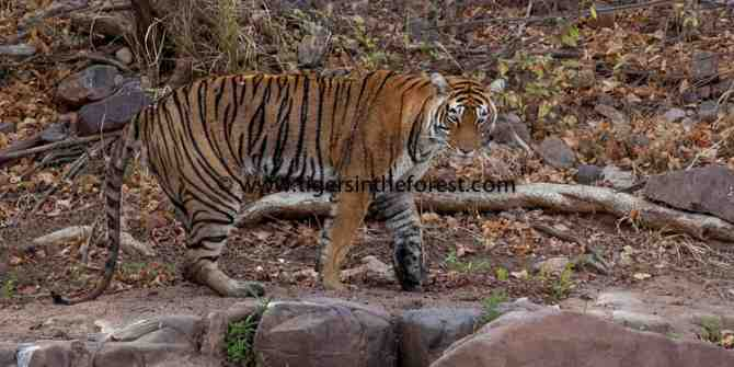 Ranthambhore March / April 2009-a tribute to a beautiful tigress
