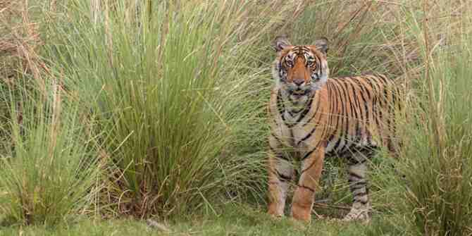 Some male tigers might be sterilised or relocated.