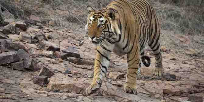 The emotional thrill of seeing your first wild tiger.