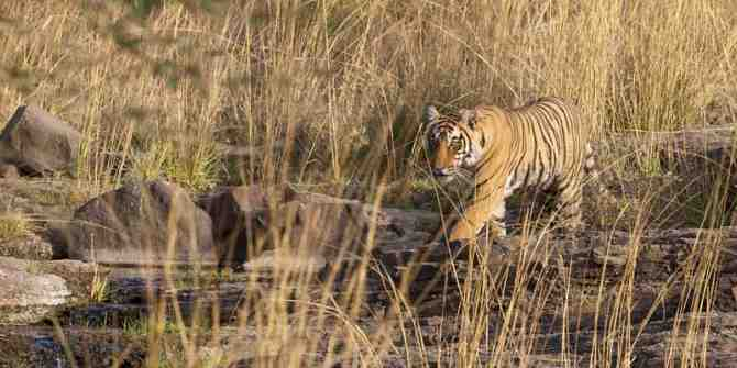 Tragedy of Tigress T.1 finally shot dead