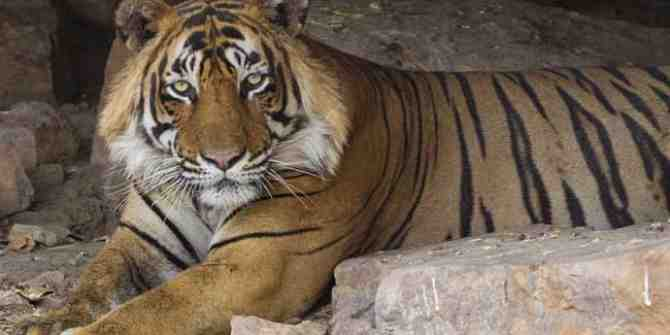 Proposed widening of NH6 is causing concern for tigers.