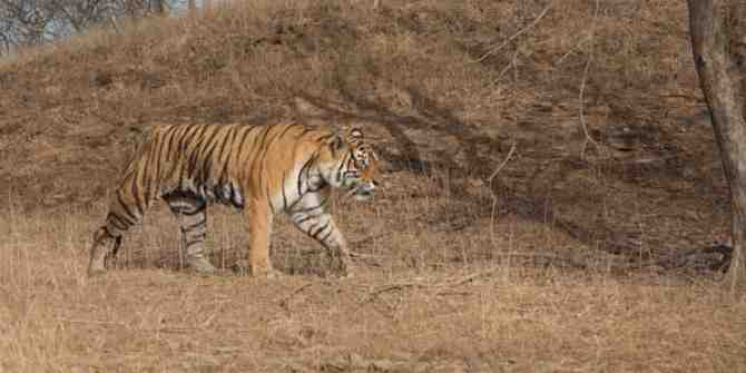 Increased threat of tiger poaching due to lockdown