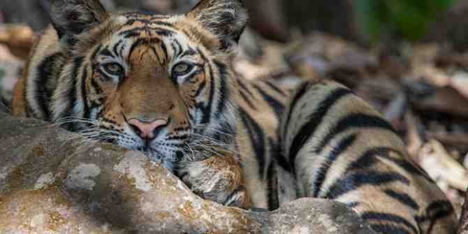 Search for wild tiger in Thailand