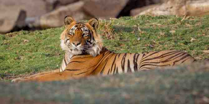 High level probe to take place into the death of tiger at Sariska