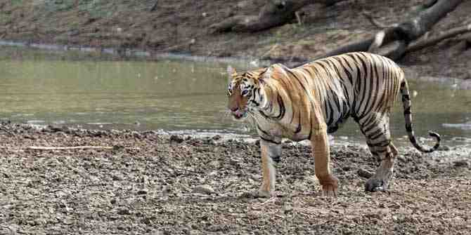 No more than 100 tigers found on the Bangladesh side of the Sunderbans