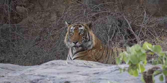 75 families relocated from Similipal core tiger reserve