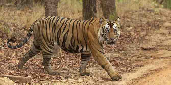 6 Tigers from MP to be relocated to Odisha