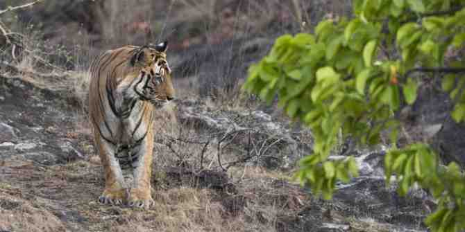 First tiger to be shortly relocated to the Mukundra Hills Tiger Reserve