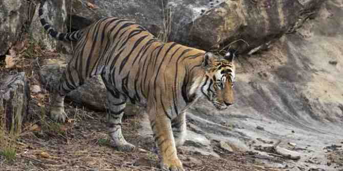 Tiger relocated from Kanha to Odisha