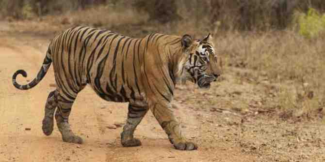 Shoot to kill order on Maharashtra tiger